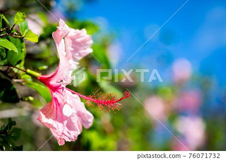 ピンクのハイビスカス 76071732