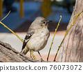 Close up shot of a cute Northern mockingbird 76073072