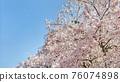 벚꽃과 푸른 하늘 76074898