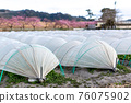 Field winter vegetables tunnel cultivation 76075902