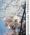 벚꽃의 꽃잎 클로즈업 76088835