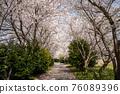 春天 櫻花 花 76089396