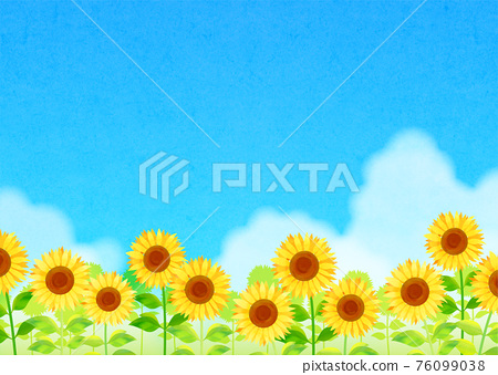 sunflower, sunflowers, sunflower field 76099038