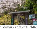 城崎溫泉 櫻花 櫻 76107687