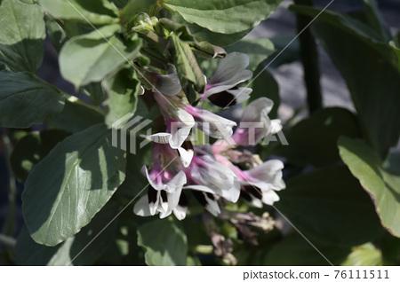Fava beans 76111511