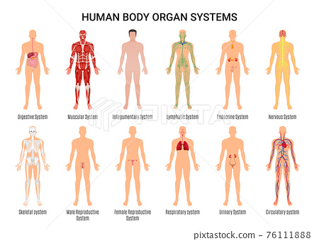 Human Body Organ Systems Poster 76111888