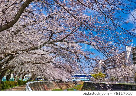 cherry blossom, cherry tree, row of cherry trees 76117016