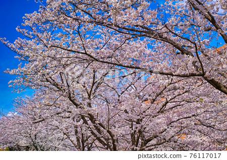 cherry blossom, cherry tree, bloom 76117017