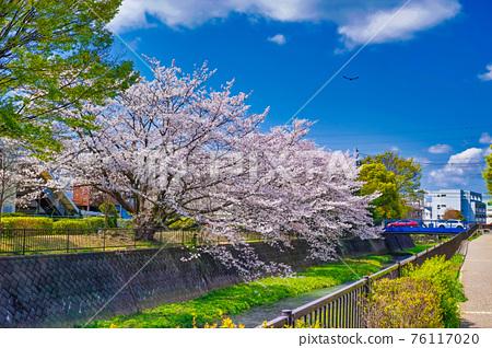 cherry blossom, cherry tree, spring 76117020