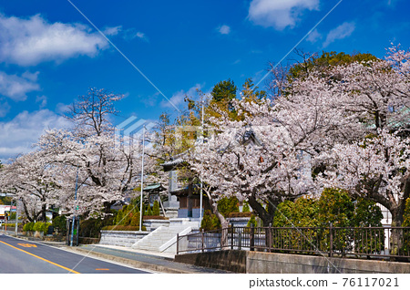 cherry blossom, cherry tree, spring 76117021