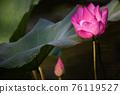lotus and leaf 76119527