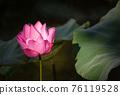lotus and leaf 76119528
