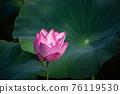 lotus and leaf 76119530