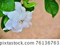 Beautiful Gardenia with morning dew 76136763