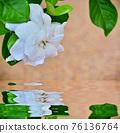 Beautiful Gardenia with morning dew 76136764