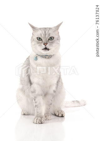 Angry British Cat  sitting and looking at camera on white background isolated 76137824