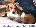Beagle dog enjoy stroking while lying on sofa at home 76161884