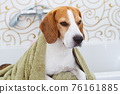 Beagle Dog Sitting in Bathtub Waiting to be Dried 76161885