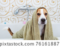 Beagle Dog Sitting in Bathtub Waiting to be Dried 76161887
