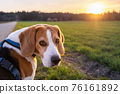 Beagle dog on Rural area. RSunset in nature 76161892