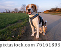 Beagle dog on Rural area. RSunset in nature 76161893