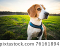 Beagle dog on Rural area. RSunset in nature 76161894