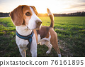 Beagle dog on Rural area. RSunset in nature 76161895