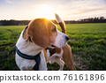Beagle dog on Rural area. RSunset in nature 76161896