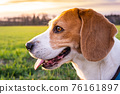 Beagle dog on Rural area. RSunset in nature 76161897