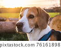 Beagle dog on Rural area. RSunset in nature 76161898