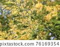 含羞草 花朵 花 76169354