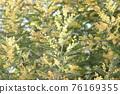 含羞草 花朵 花 76169355