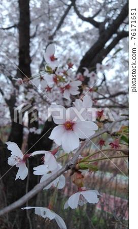 벚꽃 76171651