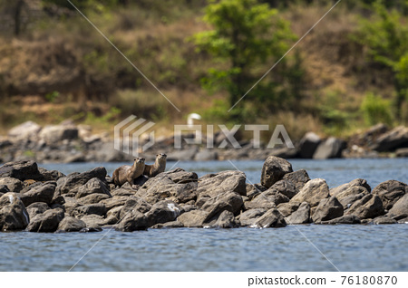 Smooth coated otter or Lutrogale perspicillata a vulnerable animal species of Mustelidae family pair with eye contact on rocks in river during safari at forest of central india 76180870