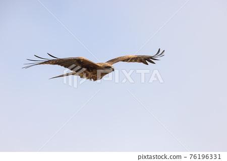 kite, kite (bird), bird 76196331