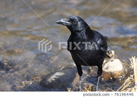 bird, birds, fowls 76196446