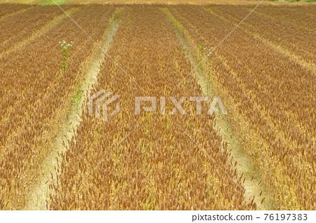 小麥 小麥地 原野 76197383