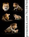 Set of many lion. Wildlife animal on black background 76198760