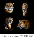 Set of many tiger. Wildlife animal on black background 76198761