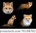Set of many red fox. Wildlife animal on black background 76198762