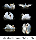 Set of many swan. Wildlife animal on black background 76198763