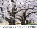 櫻花 櫻 賞櫻 76219980