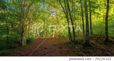 beech forest in summer. deciduous trees in morning light. beautiful nature background 76226102