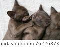 burmese kittens sleep sweetly on the couch 76226873