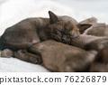burmese kittens sleep sweetly on the couch 76226879
