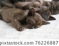 burmese kittens sleep sweetly on the couch 76226887