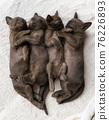 four burmese kittens sleep on the couch 76226893