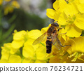 Rape flowers and bees 76234721