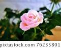 粉紅色的玫瑰 76235801