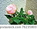 玫瑰花 玫瑰 植物 76235803